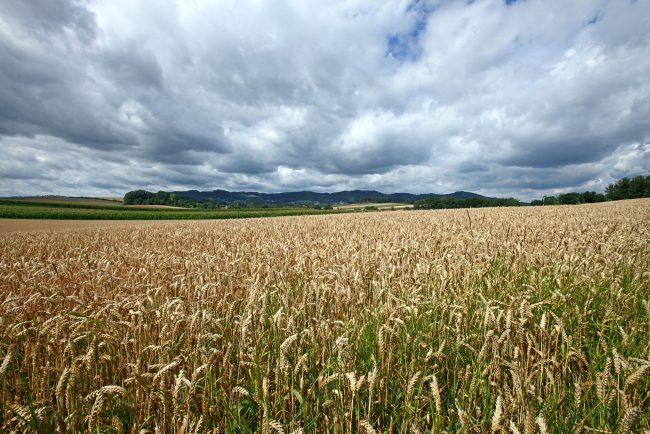 Getreidefeld in Oberösterreich