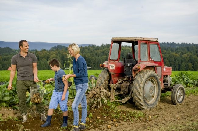 Familie beim Erdäpfel-Klauben am Feld