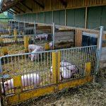 Stall_Schweine