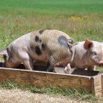 kleine Schweine