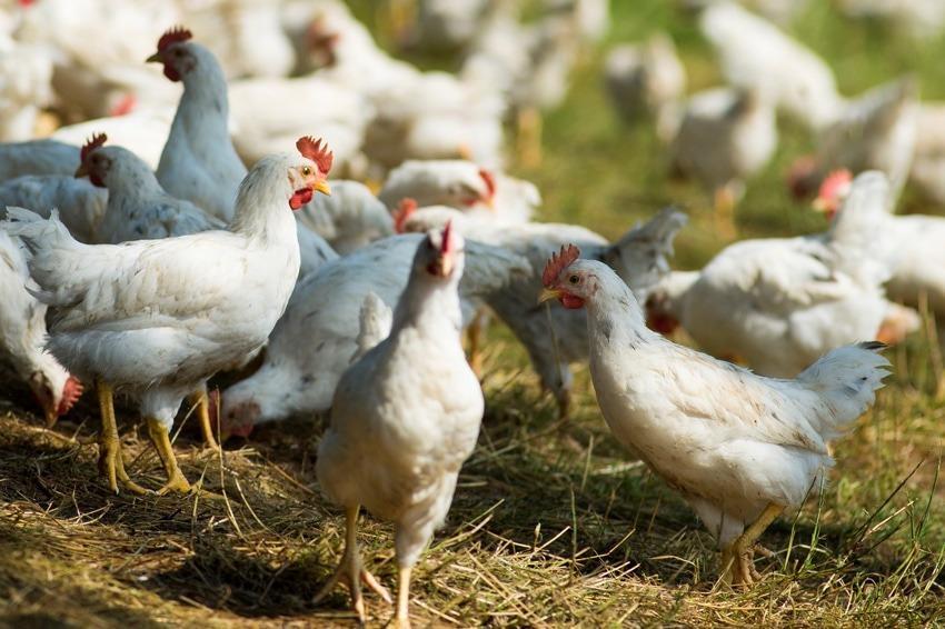 Bio Junghähne bei den Eiermachern