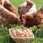 Kalimero-Hühner auf Wiese mit einem Korb Eier