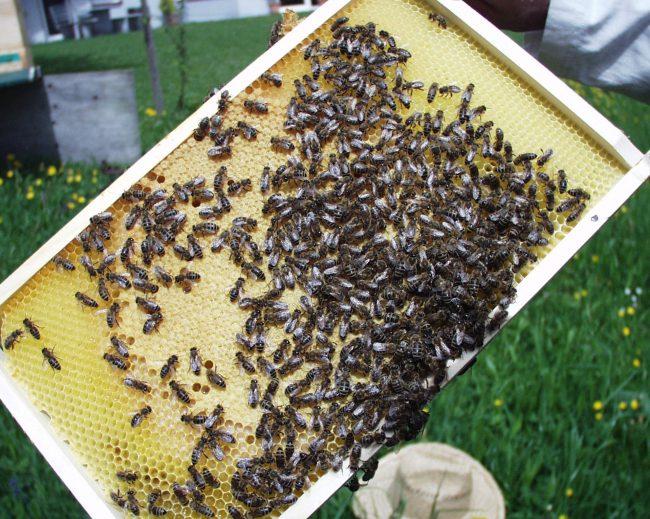 Rahmen mit Bienen vom BioBienenmann