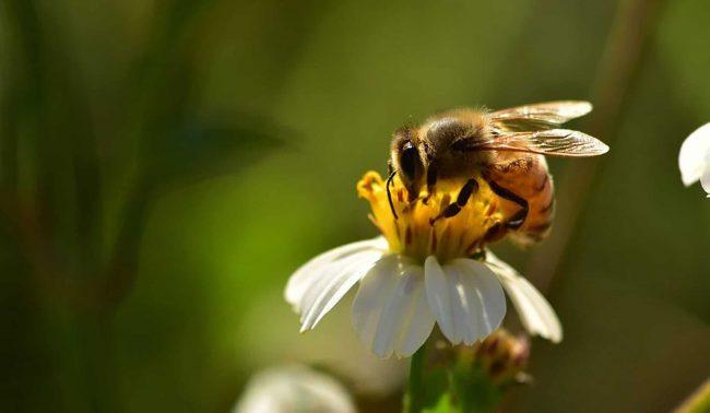 Biene auf weißer Blüte (Foto: Christoph Staudinger)