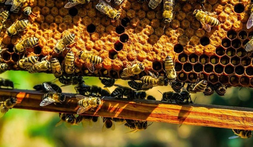 Bienen bei Waben (Foto: Christoph Staudinger)