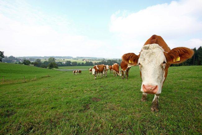 Kühe in Oberösterreich