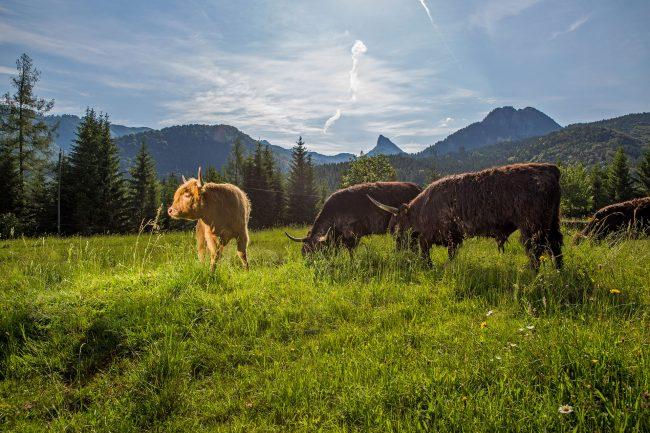 Rinder auf einer Weide im Almtal (Foto: © Monika Löff)