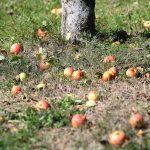 Äpfel am Boden beim Pankrazhofer (Foto: Land OÖ Kraml)