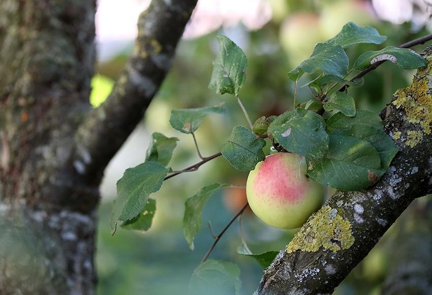 Apfel am Baum beim Pankrazhofer (Foto: Land OÖ Kraml)